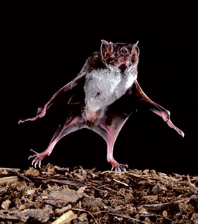 Vampire bat walking
